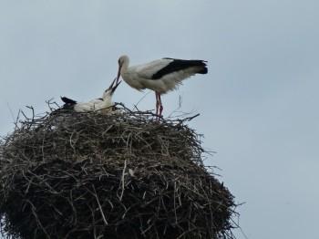 The stork or cigogne