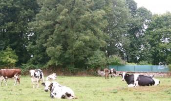 Cows in Normandie France