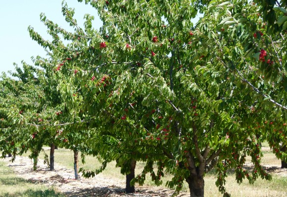 Chef Morgan Cherry Trees