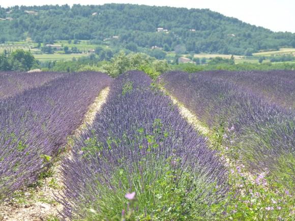 Chef morgan Gordes lavender