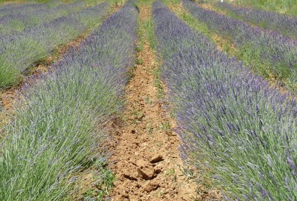 Chef Morgan Lavender Fields In Gordes