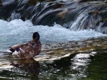 ducks in river near le vivier restaurant france